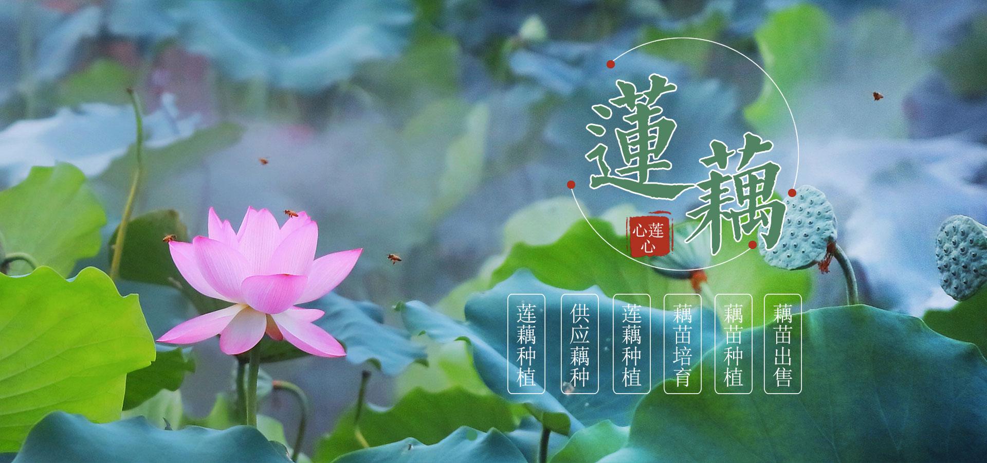 重庆莲藕采摘